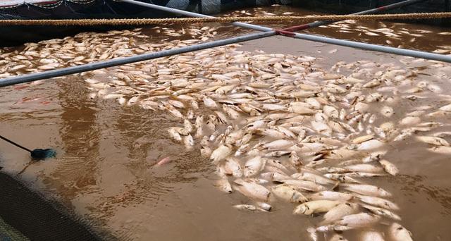 Lũ đổ bùn về, 80 tấn cá chết trắng mặt sông Hồng