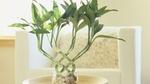 Bí mật phong thủy của việc trồng cây phát lộc không phải ai cũng biết