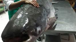 Cá tra khổng lồ hơn 160kg ở An Giang: Đến ăn 1 triệu đồng/kg