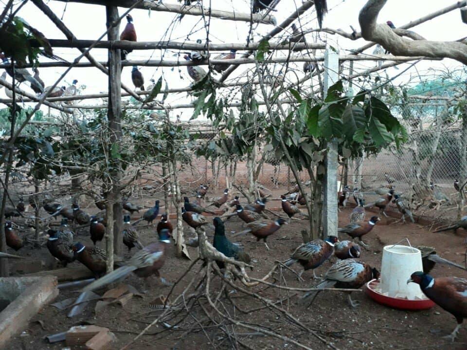 tỷ phú nông dân,nông dân làm giàu,chim trĩ,nuôi chim trĩ