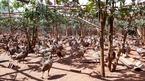 Cặp chim trĩ đỏ may mắn, khởi nghiệp thu lãi 2 tỷ/năm