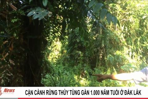 Cây thủy tùng quý hiếm bậc nhất thế giới gần 1.000 năm tuổi ở Đắk Lắk