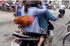 Gà đứng trên yên xe máy khiến người đi đường thích thú