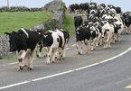 'Until the cows come home' có phải là 'bò về nhà'?