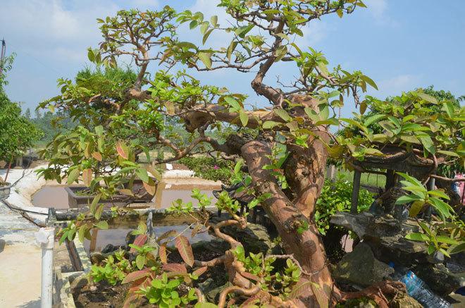siêu cây tiền tỷ, cây cổ thụ, cây cảnh tiền tỷ, cây cảnh, chơi cây