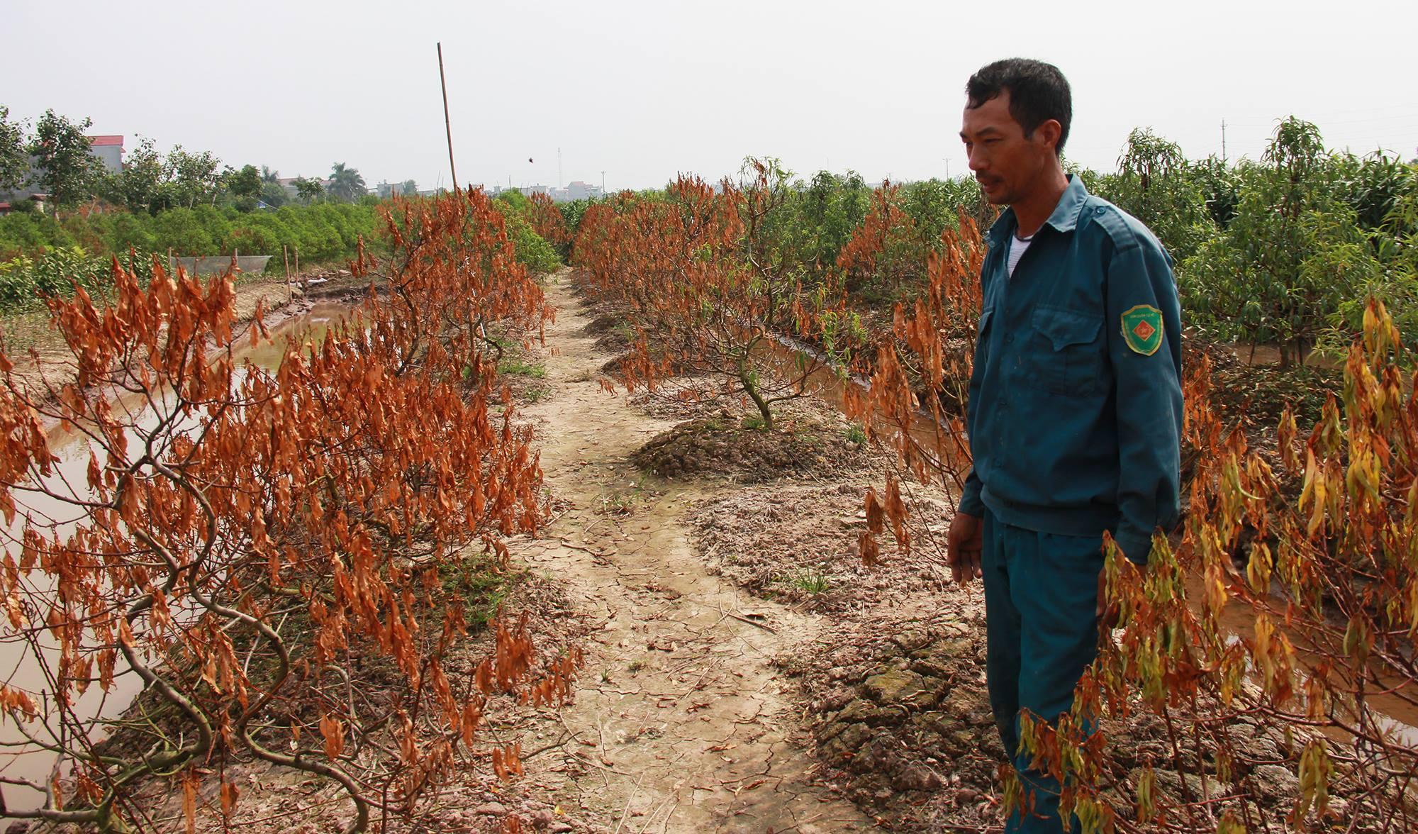 Đau đớn nhìn đào Tết chết khô ở Thái Bình