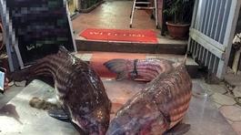 Cặp 'quái ngư' khủng lồ 70kg trên dòng Mê Kông về Thủ đô