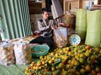 Hồng đặc sản Đà Lạt được mùa rớt giá thê thảm