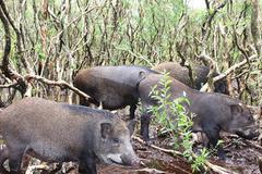 Đàn lợn rừng 100 con tiền tỷ giữa vùng 'đầm lầy sa mạc cát'