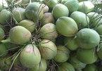 Trung Quốc giảm mua, Mỹ bớt nhập: Dừa Xiêm mất giá mạnh