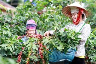 Công bố chỉ dẫn địa lý sản phẩm cà phê Sơn La