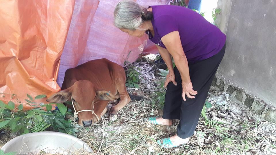 Hà Tĩnh: Cấp bò 'lở mồm long móng' cho dân nghèo