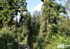 Rừng cây thủy tùng hiếm có Việt Nam: 'Núi tiền' cũng không mua nổi