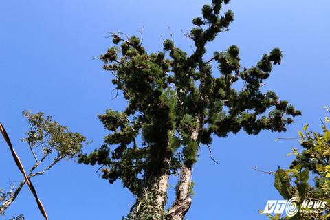 Cận cảnh rừng cây thủy tùng ở Việt Nam có 'núi tiền' cũng không mua nổi