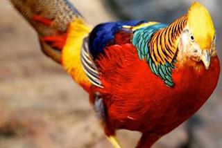 Chiêm ngưỡng đàn chim trĩ 7 màu quý hiếm, giá đắt 'hốt hoảng' ở Hải Dương