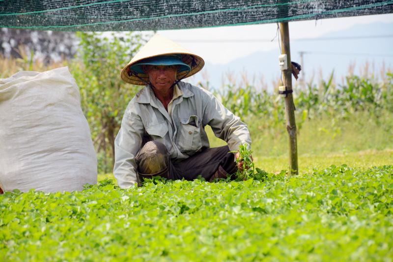 rau dại,rau má,nông dân,Quảng Nam,Lão nông,trồng rau