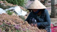 Hành thối rữa, dân Lý Sơn thiệt hại 50 tỷ đồng