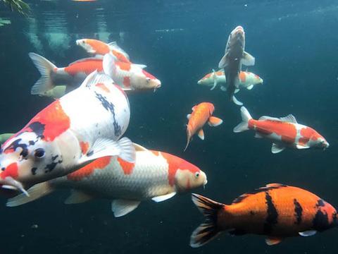 Chiêm ngưỡng hồ cá Koi 'đẹp hiếm có' của dân chơi Hà Nội