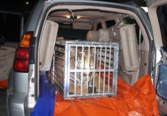 Con hổ 3 tạ 'du lịch' trên xe Lexus