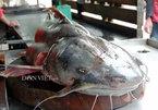 Bắt được cá chiên khổng lồ: 'Thủy quái' sông Đà lên bàn nhậu Hà Thành