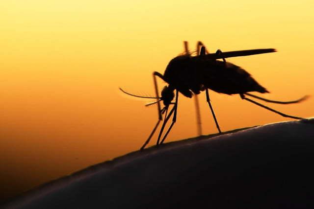"""Mỹ: Thả """"muỗi công nghệ"""" để tiêu diệt muỗi gây hại"""