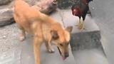 Chết cười với cuộc chiến giữa chó và gà