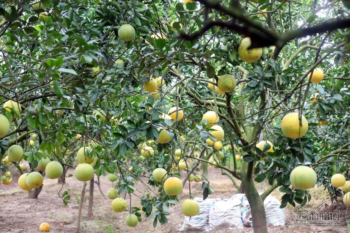 xã tỷ phú,Hưng Yên,tỷ phú nông dân,cây ăn quả,nông dân làm giàu