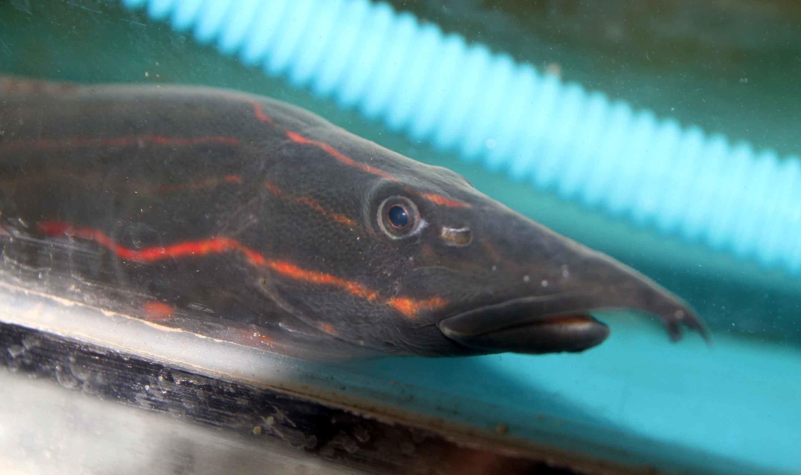 Ngắm đàn cá hoả long có 1-0-2 quý hiếm