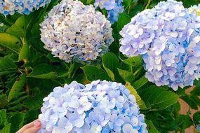 Check - in tại cánh đồng hoa cẩm tú cầu đẹp ngất ngây ở Đà Lạt