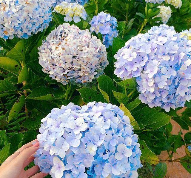Check - in tại cánh đồng hoa cẩm tú cầu đẹp ngất ngây ở Đà Lạt - ảnh 4