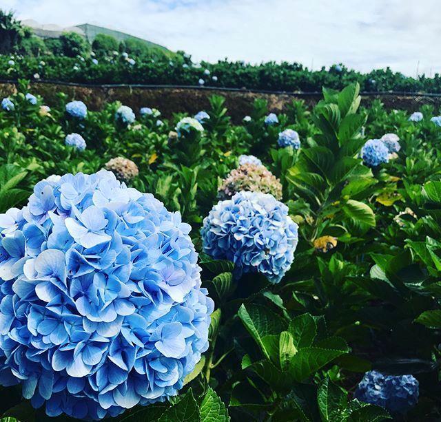 Check - in tại cánh đồng hoa cẩm tú cầu đẹp ngất ngây ở Đà Lạt - ảnh 7