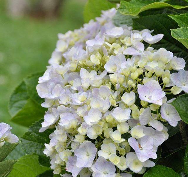 Check - in tại cánh đồng hoa cẩm tú cầu đẹp ngất ngây ở Đà Lạt - ảnh 8