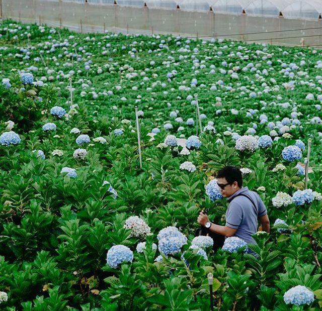 Check - in tại cánh đồng hoa cẩm tú cầu đẹp ngất ngây ở Đà Lạt - ảnh 10