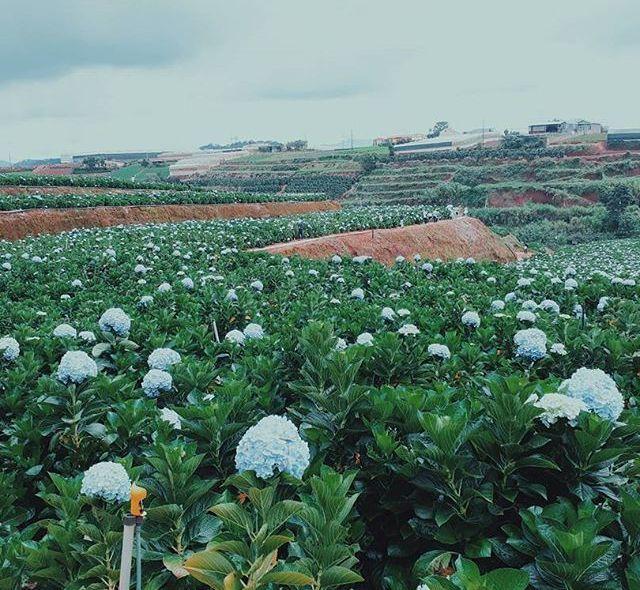 Check - in tại cánh đồng hoa cẩm tú cầu đẹp ngất ngây ở Đà Lạt - ảnh 1