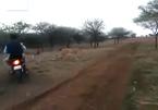 Côn đồ lái xe máy truy đuổi bầy sư tử