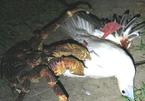 Xem cua 'khổng lồ' xé xác chim biển trong đêm