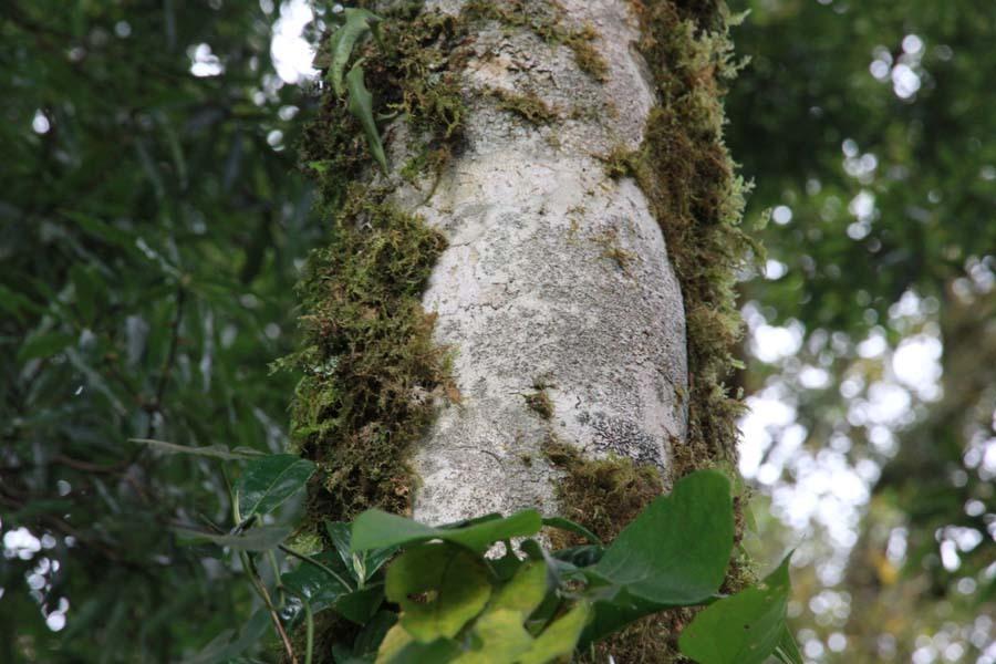 Kỳ bí rừng chè cổ thụ 1.000 năm tuổi 1.500m trên đỉnh Khang Su Văn