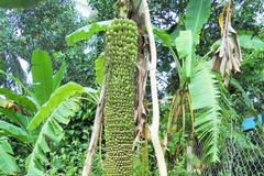 Kỳ lạ cây chuối trổ buồng 'khủng' dài gần 2m, hơn 200 nải
