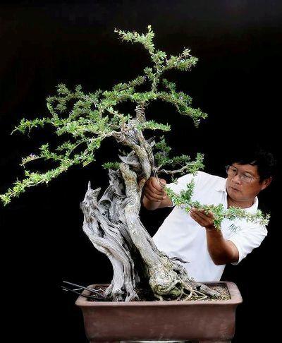 Lão nông Sài Gòn phù phép gốc 'củi' thành cây cảnh nửa tỷ