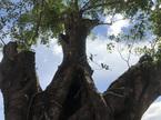 Cây cổ thụ hàng trăm năm tuổi 'biến mất' giữa ban ngày