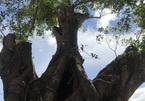 Chuyện ly kỳ quanh thần cây dầu rái gần 800 tuổi mọc ngược - ảnh 5