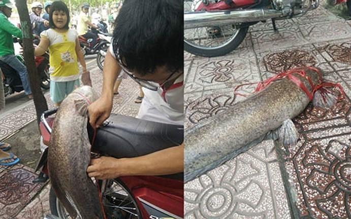 Bắt được đàn cá trê 'khủng' dài 1m, nặng cả chục kg
