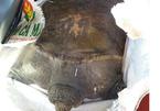 Bắt được con rùa khổng lồ khi thả lưới sau nhà