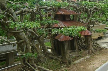 Cây sanh 'Phố cổ Hà Nội': Kiệt tác tiền tỷ độc nhất Hà thành