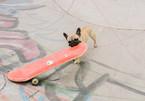 Chú chó 'gây bão' mạng với tài trượt ván đáng kinh ngạc
