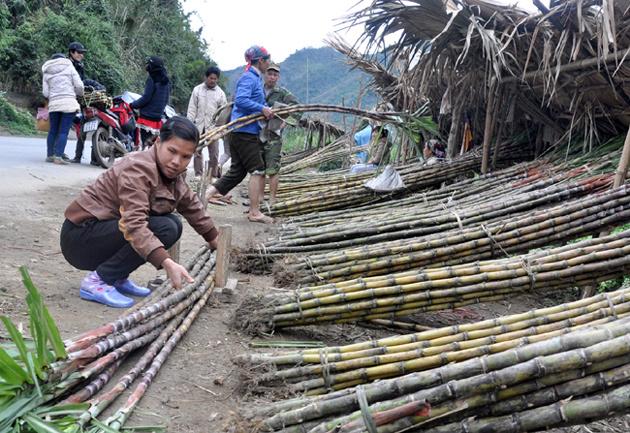 Sức ép Thái Lan và thế khó của mía đường Việt Nam