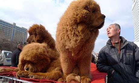 Chó ngao Tây Tạng 30 tỷ thành món ăn trong nồi lẩu: Đại gia khóc ròng