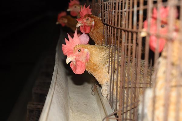 6 năm trời du học rồi về quê... nuôi gà