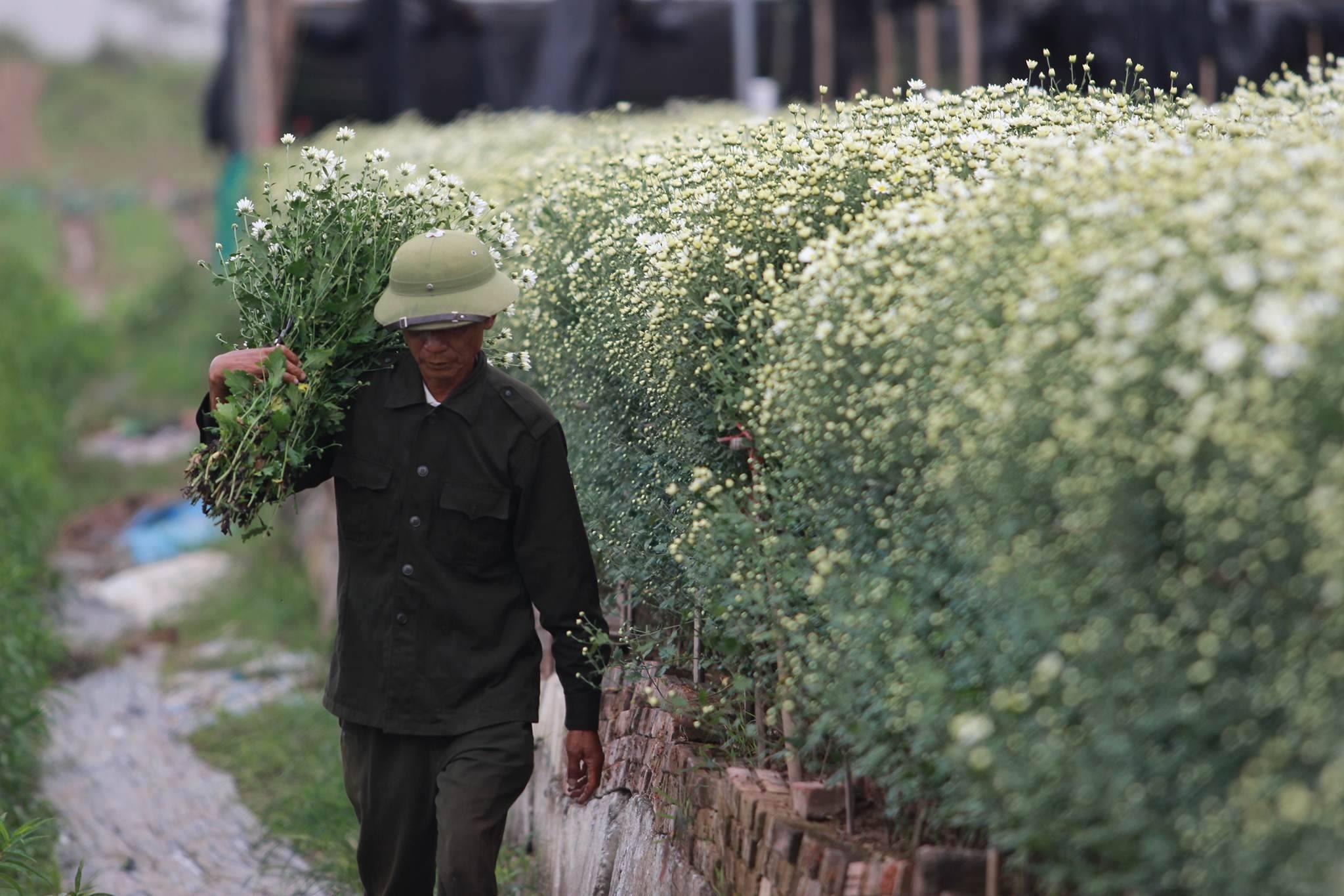 cúc họa mi,vườn hoa nhật tân,nông dân làm giàu
