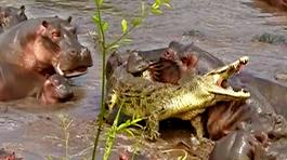 Đột nhập cấm địa hà mã, cá sấu bị truy sát nghẹt thở